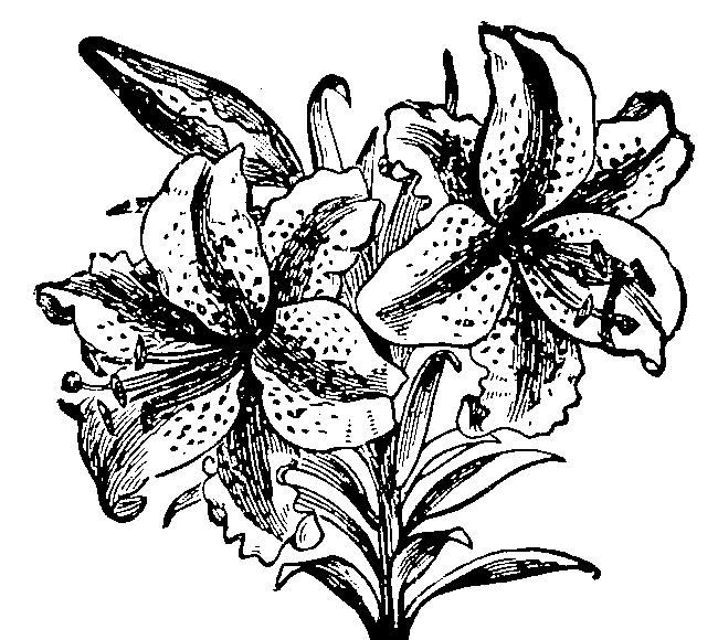 百合のイラスト,ユリ,ゆり,花,lily,illust