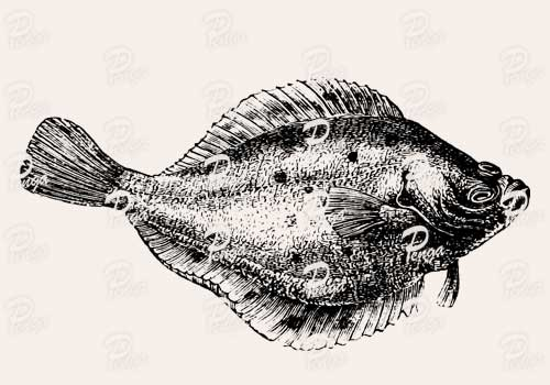 カレイ(鰈)のイラスト フリー 魚 ビンテージ アンティーク